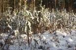 Департамент лесного хозяйства утвердил порядок приобретения хвойных деревьев для новогодних праздников в лесничествах области