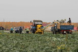 Хороший урожай овощей и картофеля обеспечит потребности города